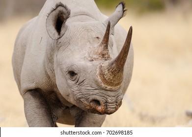 Black rhino head portrait, etosha nationalpark, namibia, (diceros bicornis)