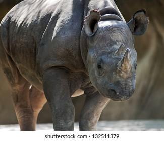 black rhino looking toward camera
