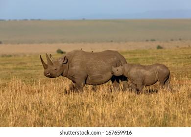Black Rhino Mother and baby in the savannah of Masai Mara, Kenya