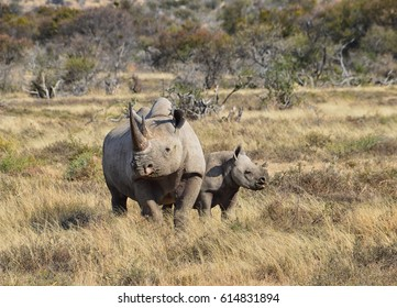 A Black Rhino mother and her 6 month old calf in Southern African savanna