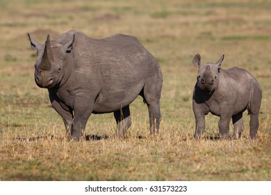 Black Rhino mother with her calf in Masai Mara, Kenya