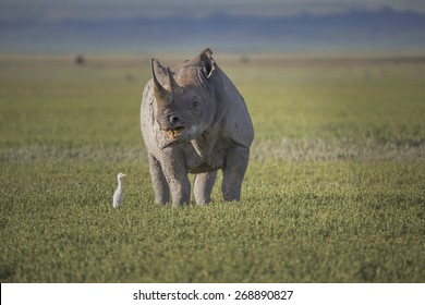 Black rhino in the Ngorongoro Crater in Kenya