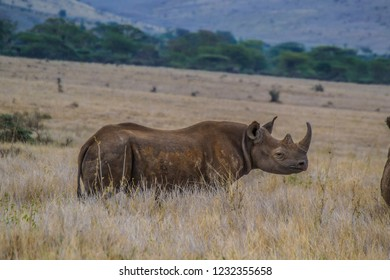 Black rhino on beautiful African savanna grassland