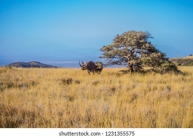 Black rhino on dry African Savannah grassland landscape