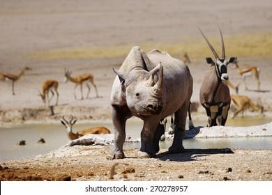 Black rhino, oryx and springboks at Nebrownii waterhole in Etosha national park, Namibia