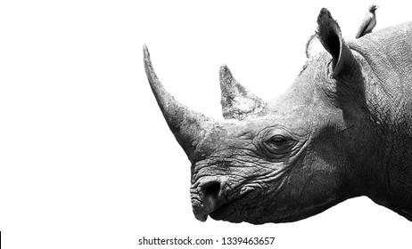 A Black Rhino Portrait