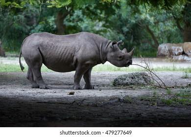 Black Rhino / Rhinoceros grazing wood stick