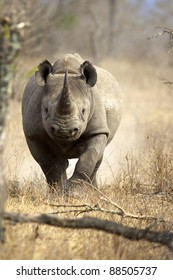 A Black Rhino running towards the camera, Kruger National Park