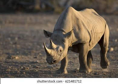 Black Rhino in soft morning light.