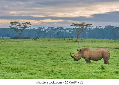 Black rhino standing on the grass in Lake Nakuru with clouds and trees on the background, Kenya. Taken while on a game drive during a safari trip in Kenya and Tanzania.