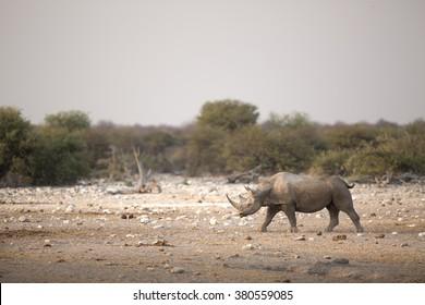A Black Rhino walking across the open veld.