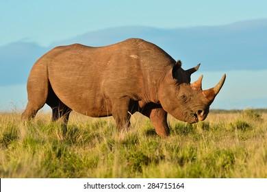 Black Rhino walking in the savannah and browsing