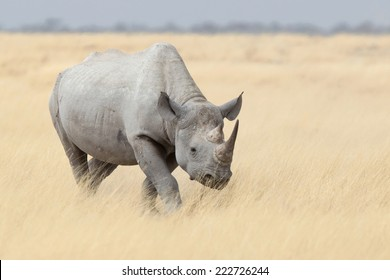 Black Rhino walking through grass