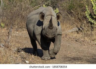 Black Rhino walking towards the camera, Greater Kruger.