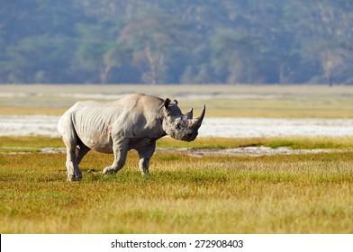 Black rhino walks alone in the bush
