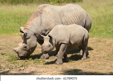 Black Rhino with Young
