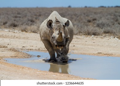 Black rhinoceros angry after drinking and walking in a rain puddle on a dirt road in Etosha National Park in Namibia
