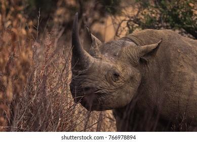 black rhinoceros in the bush veld