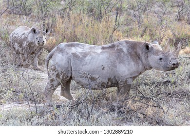 Black Rhinoceros and Calf baby Namibia