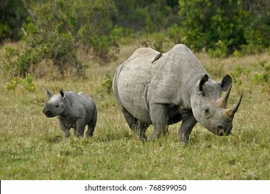 Black rhinoceros calf with its mother, and a red-billed oxpecker on her back, Ol Pejeta Conservancy, Kenya
