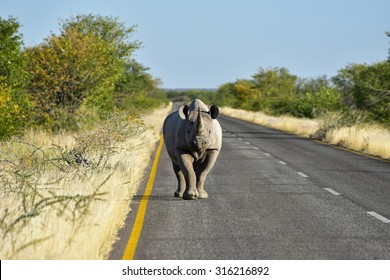 Black Rhinoceros, Diceros bicornis, or hook-lipped rhinoceros. Walking along the road in the Etosha National Park, Namibia.