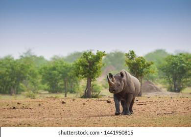 Black Rhinoceros - Diceros bicornis, iconic African mammal, critically endangered member of big five. Etosha National Park, Namibia.