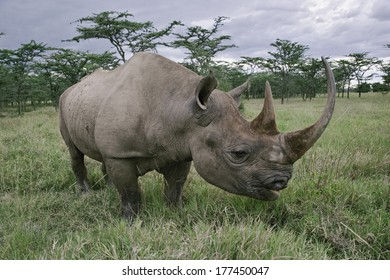 Black Rhinoceros, Diceros bicornis, Kenya