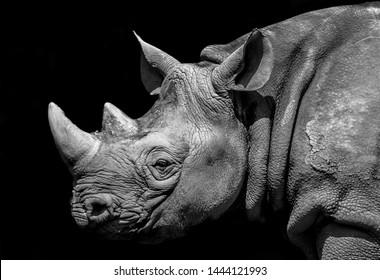 Black Rhinoceros head from Chester Zoo