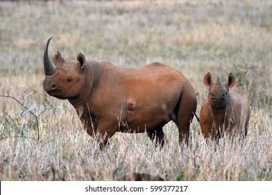 The black rhinoceros or hook-lipped rhinoceros (Diceros bicornis) female with young in savannah