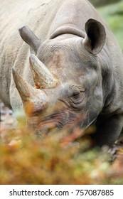 The black rhinoceros or hook-lipped rhinoceros (Diceros bicornis), portrait.