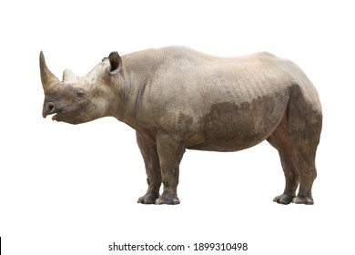 Black rhinoceros isolated in front of white background