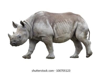 Black rhinoceros isolated on white