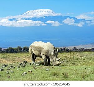 Black rhinoceros in Nakuru National Park in Kenya