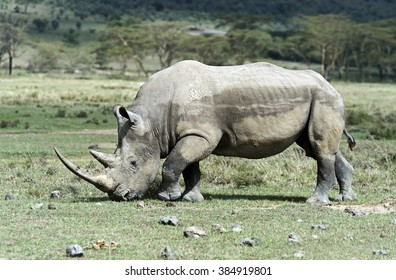 Black rhinoceros in Nakuru National Park in Kenya