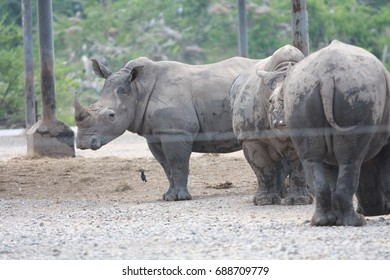 Black rhinoceros standing together in the zoo.