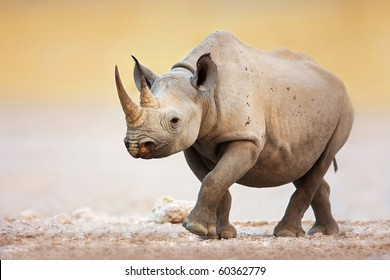 Black Rhinoceros walking on salty plains of Etosha