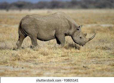 Black Rhinocerus walking in open field; Diceros bicornis