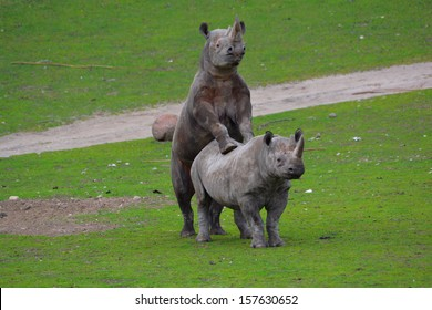 black rhinos mating