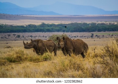 Black rhinos on African savanna grassland