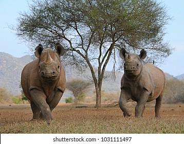 Black rhinos in Tanzania