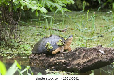 Black river turtle (Rhinoclemmys funerea), rests on a log in the river and has plants growing on its shell.  Also known as a black wood turtle.  This one looks like it is decorated with shamrocks.
