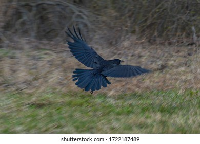 a black rook on the side of the road, a rook flying in, a bird taking flight