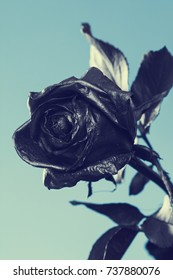 Black Rose. Concept, symbol of sorrow, melancholy and sad mood. Depression, farewell and love. St. Valentine's Day