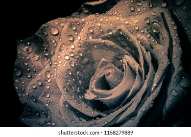 Black rose isolated on the black background with drops. Close up rose petals. Macro image of dark rose with water droplets. Extreme close-up with shallow dof. Rose macro shot with wonderful dew drops.