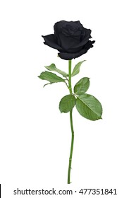 Black rose isolated on a white background