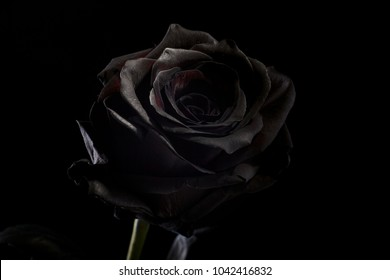black rose on a black background