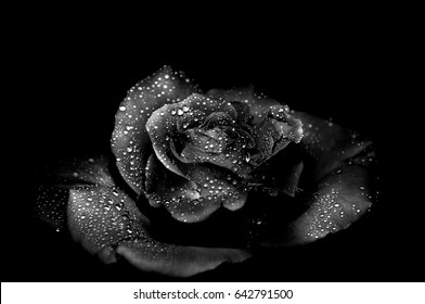 Black rose on a black background with drops on petals.