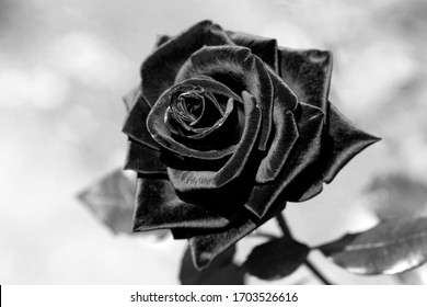 Black rose with velvet petals. Black white photo with rose on blur of the background horizontally. Copy space