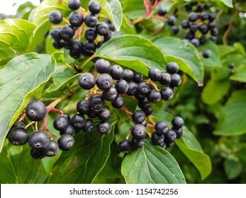 Black rowan aronia chokeberry