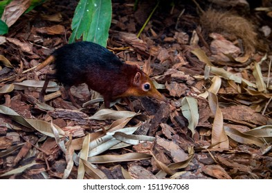 The black and rufous elephant shrew, (Rhynchocyon petersi) the black and rufous sengi, or the Zanj elephant shrew is one of the 17 species of elephant shrew found only in Africa.
